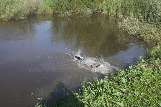 Labrador i bočno plivanje