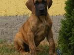 Njemačka Doga (Great Dane)