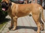 Engleski mastif (English mastiff)