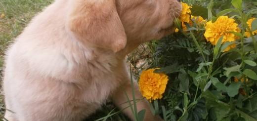 Otrovne biljke - opasnost za pse